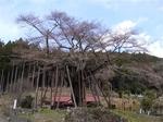 2012sakura_4.jpg